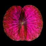 Lotus auf AluDibond 70x70 cm